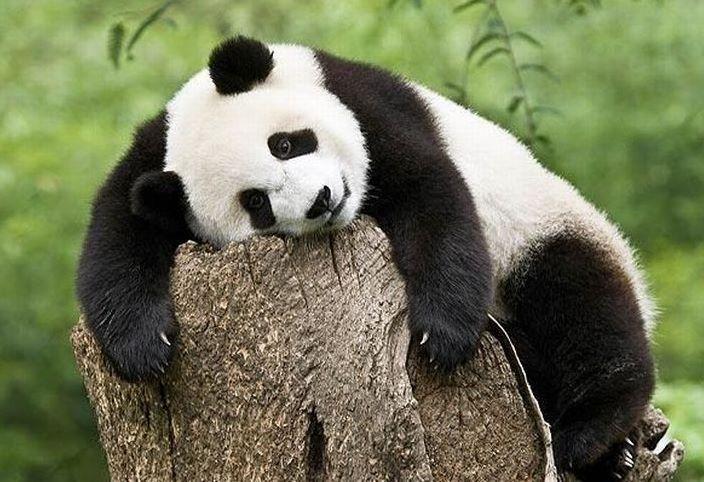 апатия панда